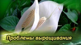 Почему спатифиллум не цветет, а листва чернеет и сохнет (фото и видео инструкция)