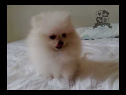 teacup pomeranian full grown size teacup size female pomeranian youtube 3045