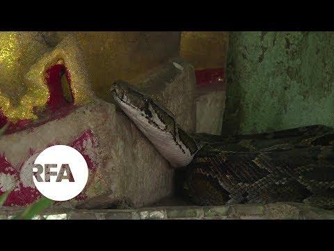 Myanmar's Snake Temple | Radio Free Asia (RFA)