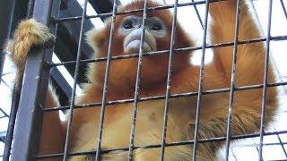 キンシコウ,上海動物園,Golden snub-nosed monkey,Shang Hai Zoo,China,中華人民共和国,金丝猴,上海动物园