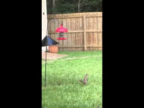 Breaux Squirrel baffle