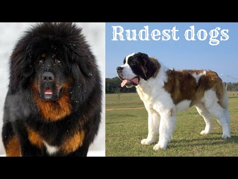 🐕-rudest-dogs-–-top-10-rudest-dog-breeds-in-the-world!-||-rudest-dogs-||-2020-||-#15