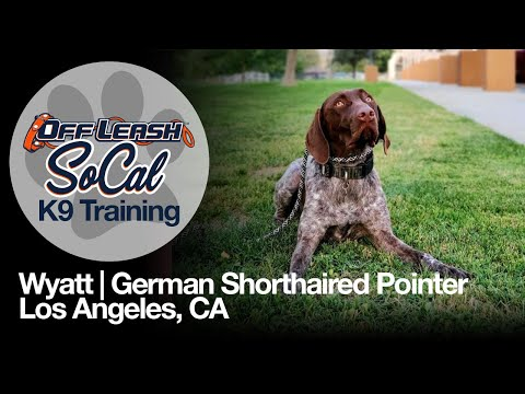 German Shorthaired Pointer – Off Leash Dog Training – Wyatt | Los Angeles, CA.| OffLeash SoCal