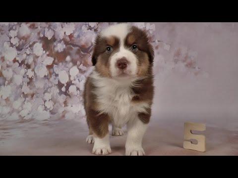 Australian Shepherd Puppies - 5 weeks old - Skayes