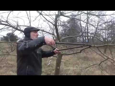 Jak przyciąć Jabłoń? How to prune an apple tree?