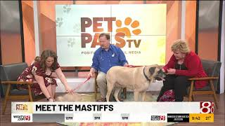Pet Pals TV: English Mastiffs