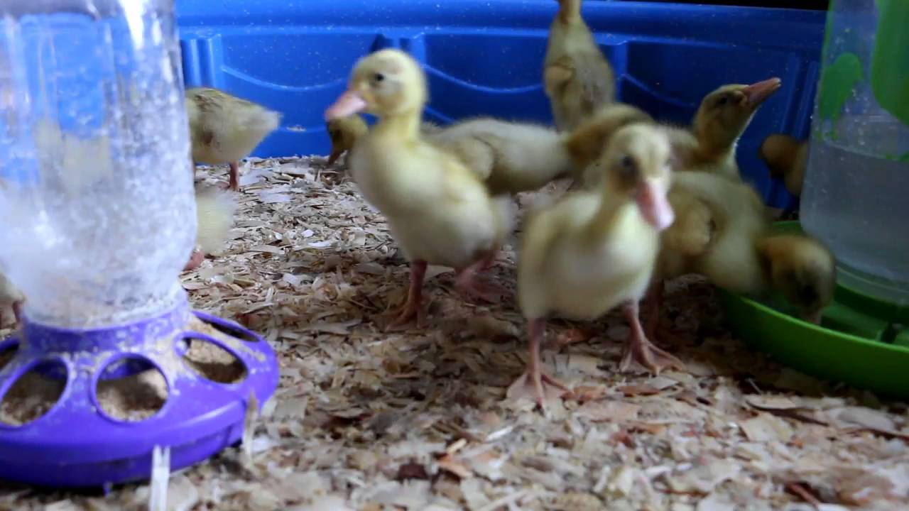 Heat Lamp For Ducklings