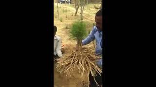 Harvesting of Organic Wellness Shatavari at Organic Wellness Farm thumbnail