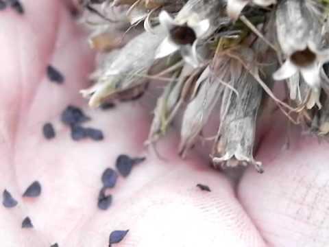 Harvesting Sweet William Seeds