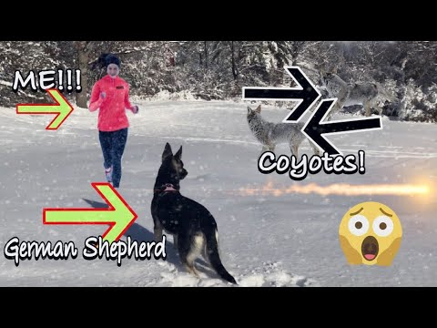 German Shepherd Protects Owner from a Pack of Coyotes