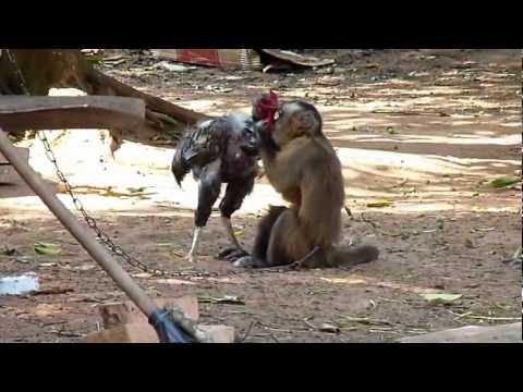 Mono y Gallo