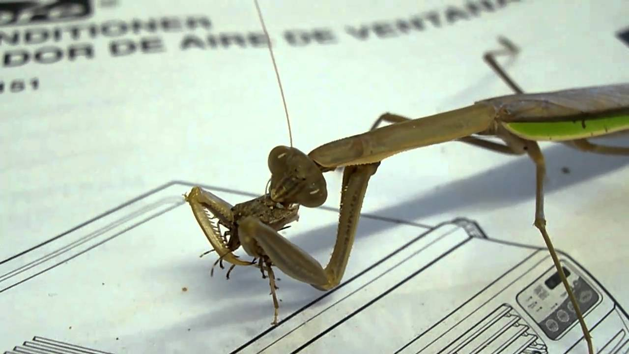 stick bug vs praying mantis