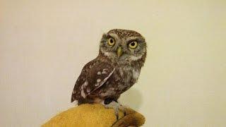 Домовой СЫЧ:) Продажа / Little Owl