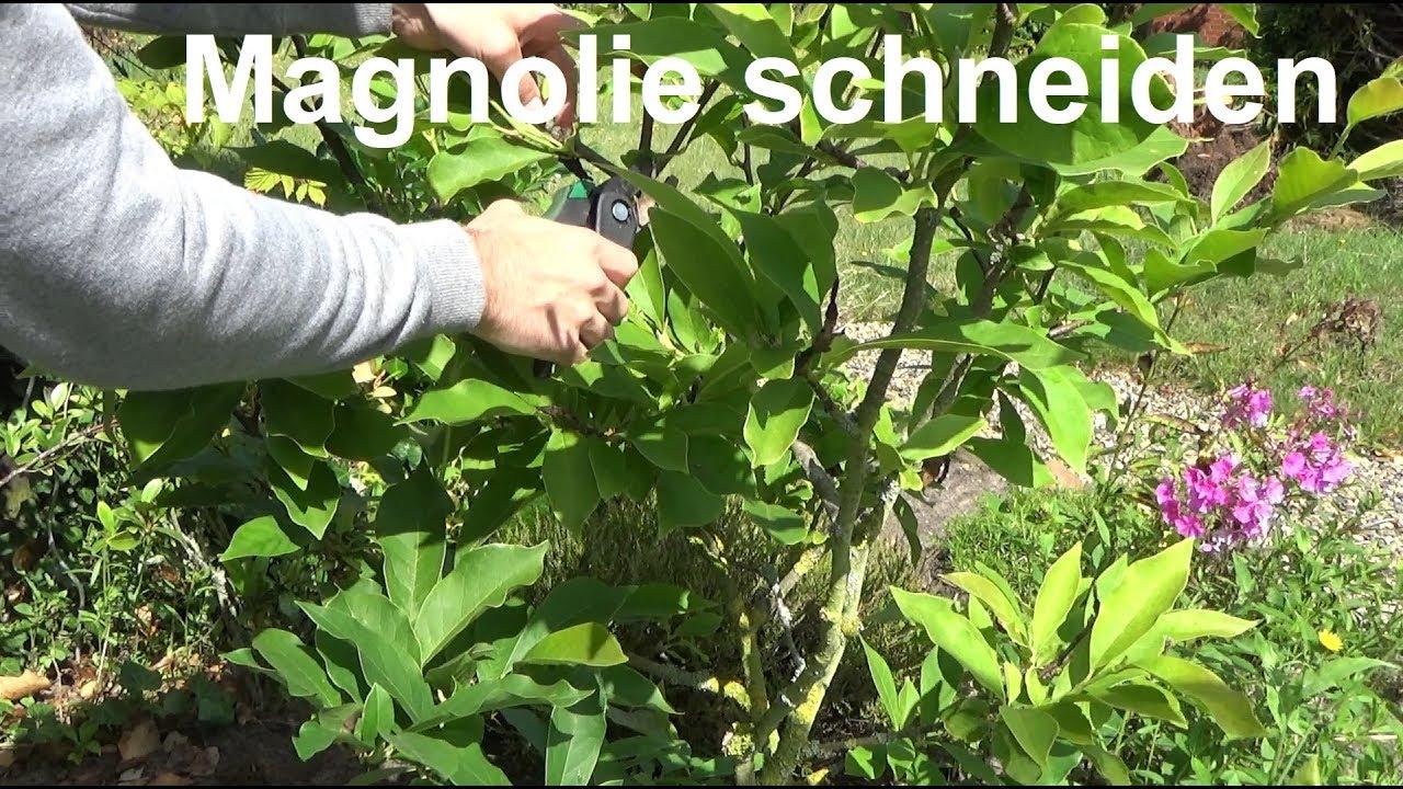Magnolie schneiden Magnolie wann und wie schneiden bzw
