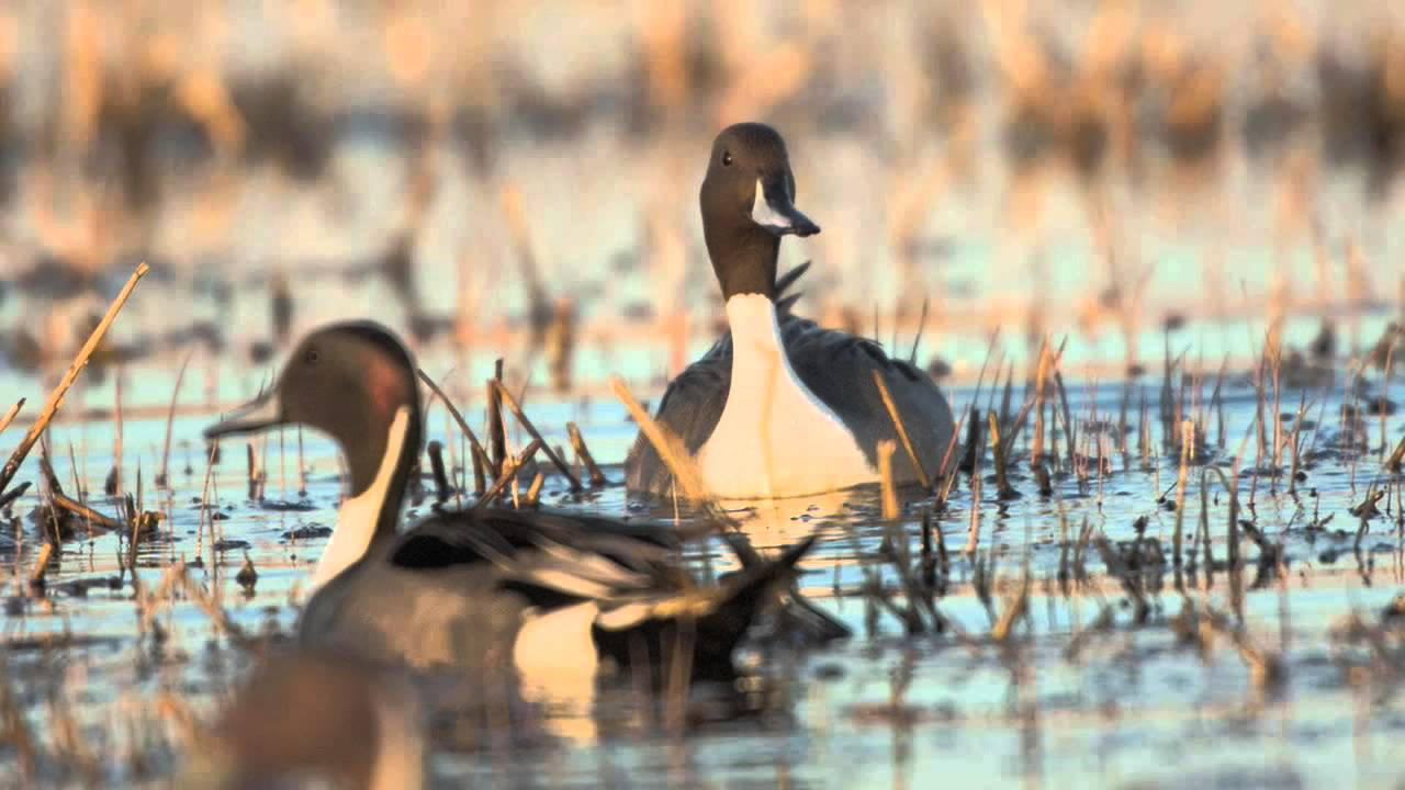 Why Study Waterfowl