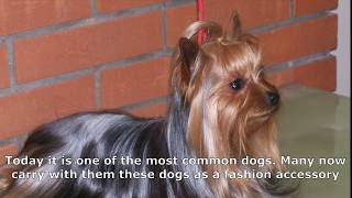 Yorkshire Terrier is another most expensive breed of dog in the world
