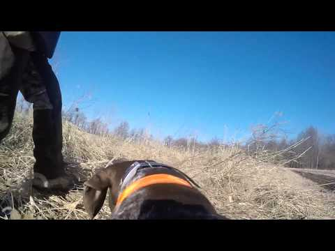 German Shorthaired Pointer in Slo Mo on a pheasant