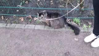 Maine Coon Katze greift Menschen an