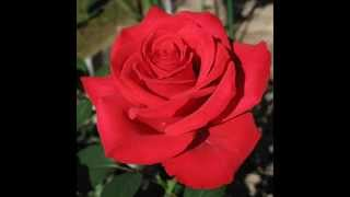 The meaning of the red rose