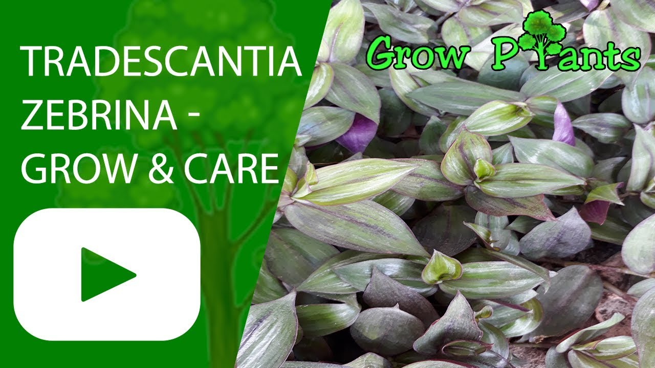 tradescantia zebrina grow and care wandering jew plant youtube. Black Bedroom Furniture Sets. Home Design Ideas