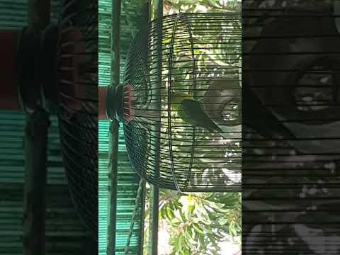 Settingan Glodok Bambu Gila Lovebird Mbah Gandul Makin Stabil Didurasi 1-2menit Up