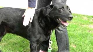 Milly - Golden Gate Labrador Retriever Rescue