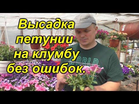 Как правильно высадить петунию на клумбу (наш опыт). | высадить | посадка | петуния | петунии | высадка | своими | руками | огород | клумба | валера
