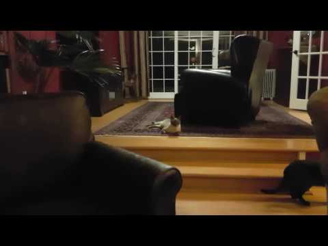 Felix the Siamese Blue Point plays Fetch