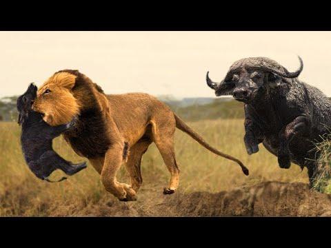 Вопрос: Какой вид буйволов самый маленький Где обитает?