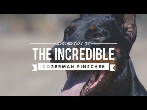 THE INCREDIBLE EUROPEAN DOBERMAN PINSCHERS