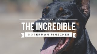 THE INCREDIBLE EUROPEAN DOBERMAN PINSCHERS