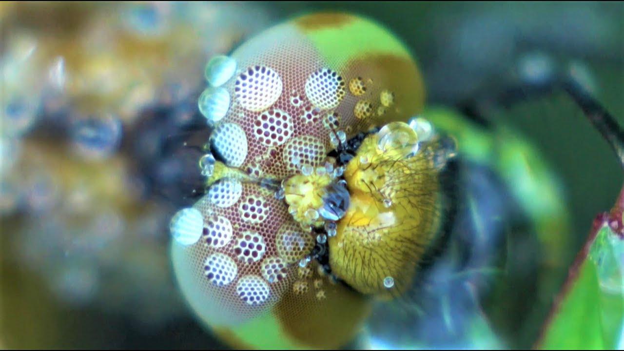 世界一小さいトンボ、ハッチョウトンボの複眼 - YouTube