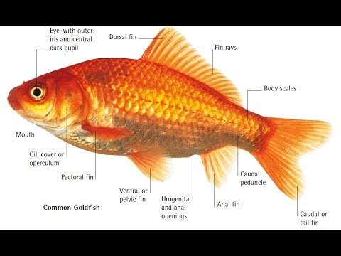 Common Gold Fish Body Parts - YouTube