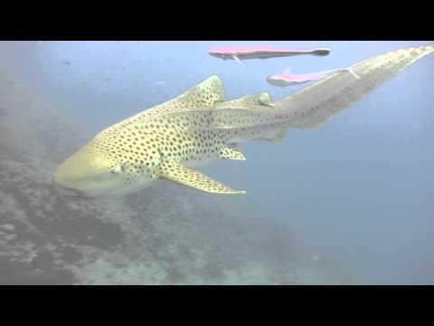Shark Dive Biba Nai Phi Phi