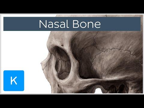 Nasal bone - Anatomy, Function & Diagram - Human Anatomy |Kenhub