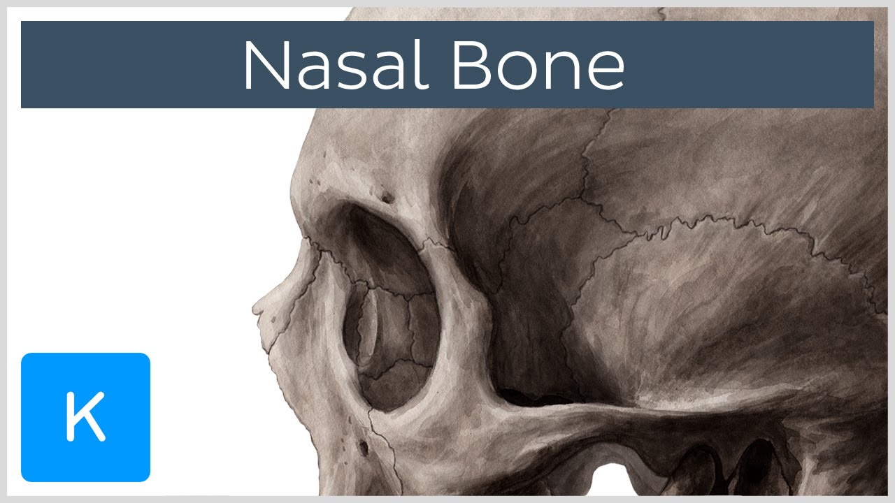 Nasal bone - Anatomy, Function & Diagram - Human Anatomy | Kenhub ...