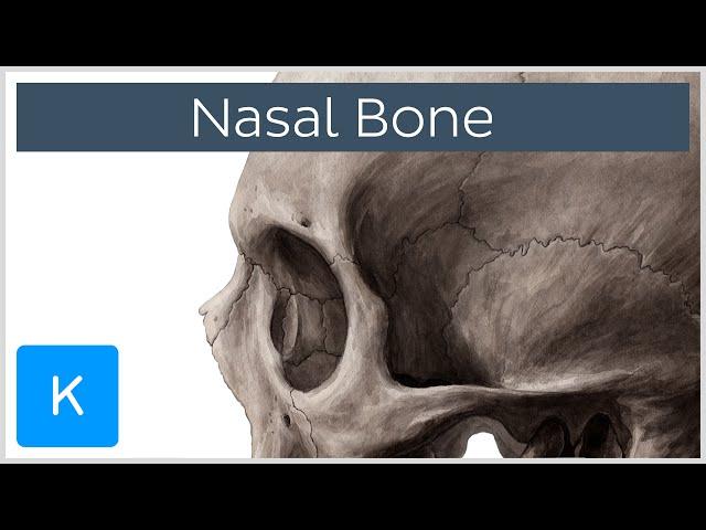 Vomer Bone Definition Location Human Anatomy Kenhub Galaxy Tv