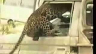 leopard attacks man jaguar attack