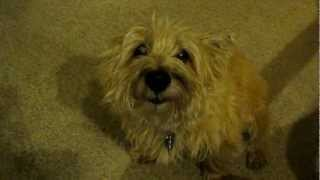 The Cairn Terrier Chronicles - When Pavlov Is Bad; *he* Is The Guiltiest Dog Ever.