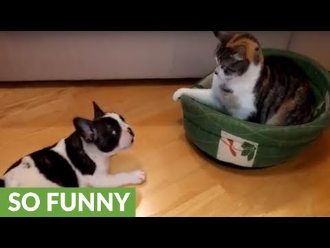 Puppy attempts to reclaim his bed from unimpressed cat