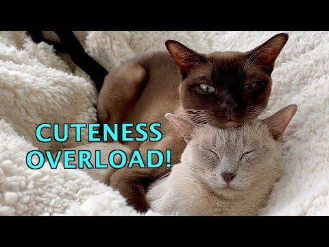 Warm & Fuzzy! Burmese Cats Love to Snuggle & Sleep! Cuteness Overload!