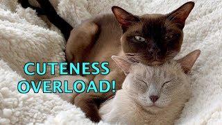 Warm & Fuzzy! Burmese Cats Love to Snuggle & Sleep! Cuteness Overload!