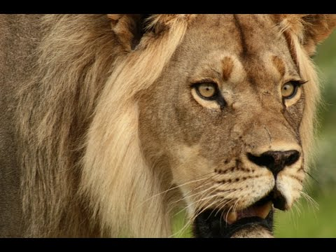 The Ecology and Management of Kalahari Lions in a conflict area in Central Botswana