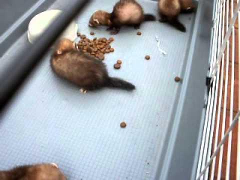 Wild Polecat x domestic Polecat Babies