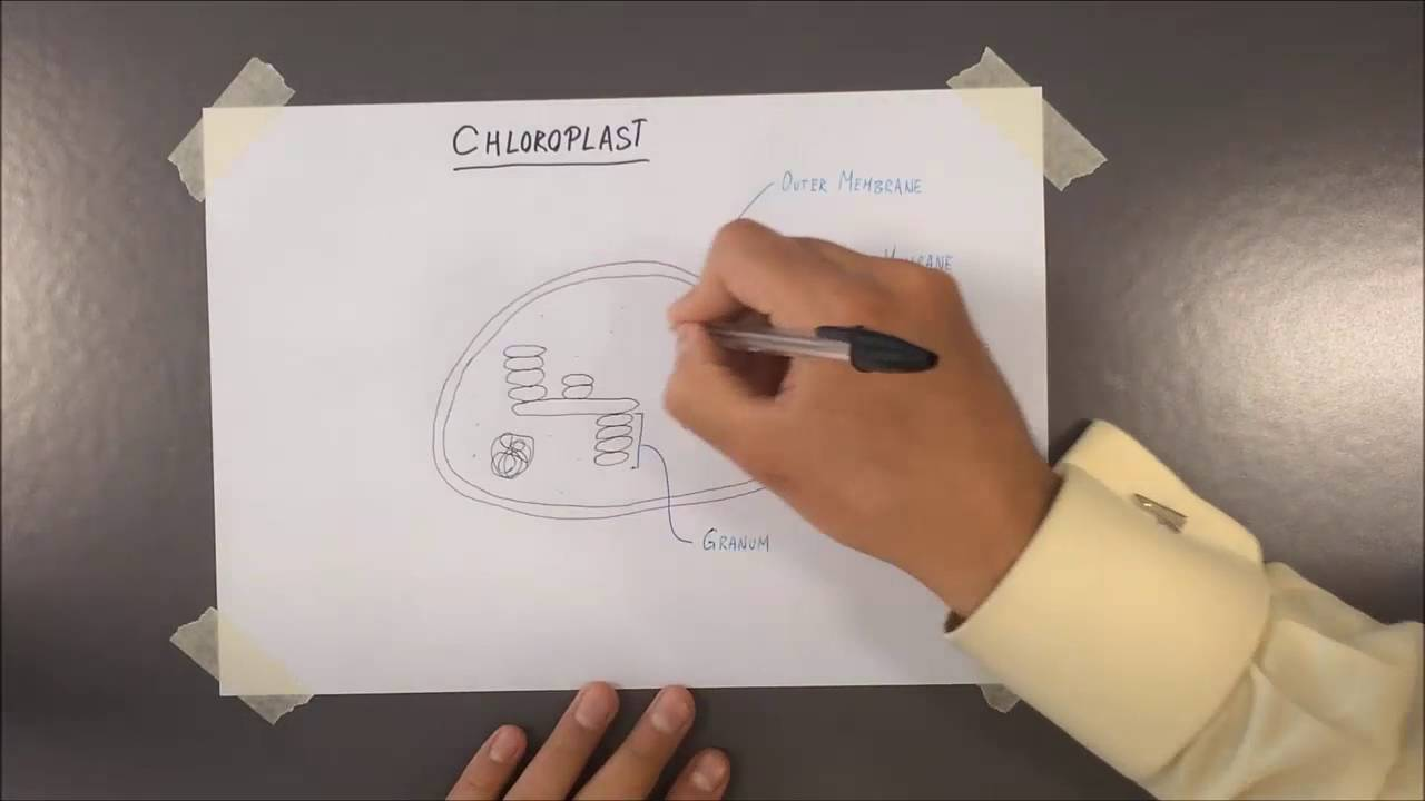 83 chloroplast structure youtube 83 chloroplast structure ccuart Gallery