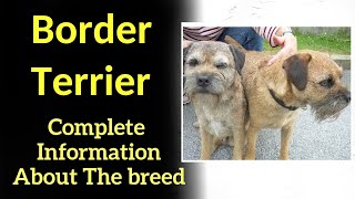 Border Terrier. Pros and Cons, Price, How to choose, Facts, Care, History