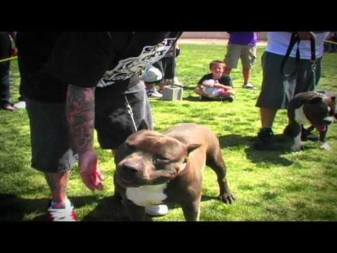 AMERICAN BULLY SHOW - SPRING BLING BULLYFEST VEGAS 2010
