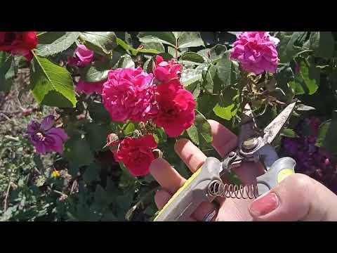 Летняя обрезка полиантовых роз.
