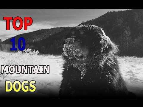Top 10 mountain dog breeds | Top 10 animals