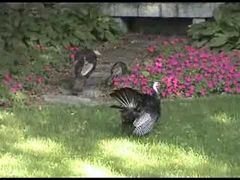 Turkeys in Newton, MA